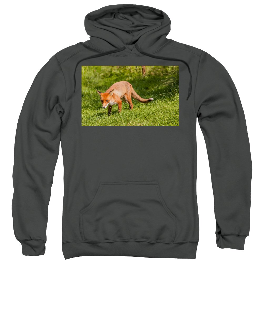 British Wildlife Centre Sweatshirt featuring the photograph A British Red Fox by Dawn OConnor