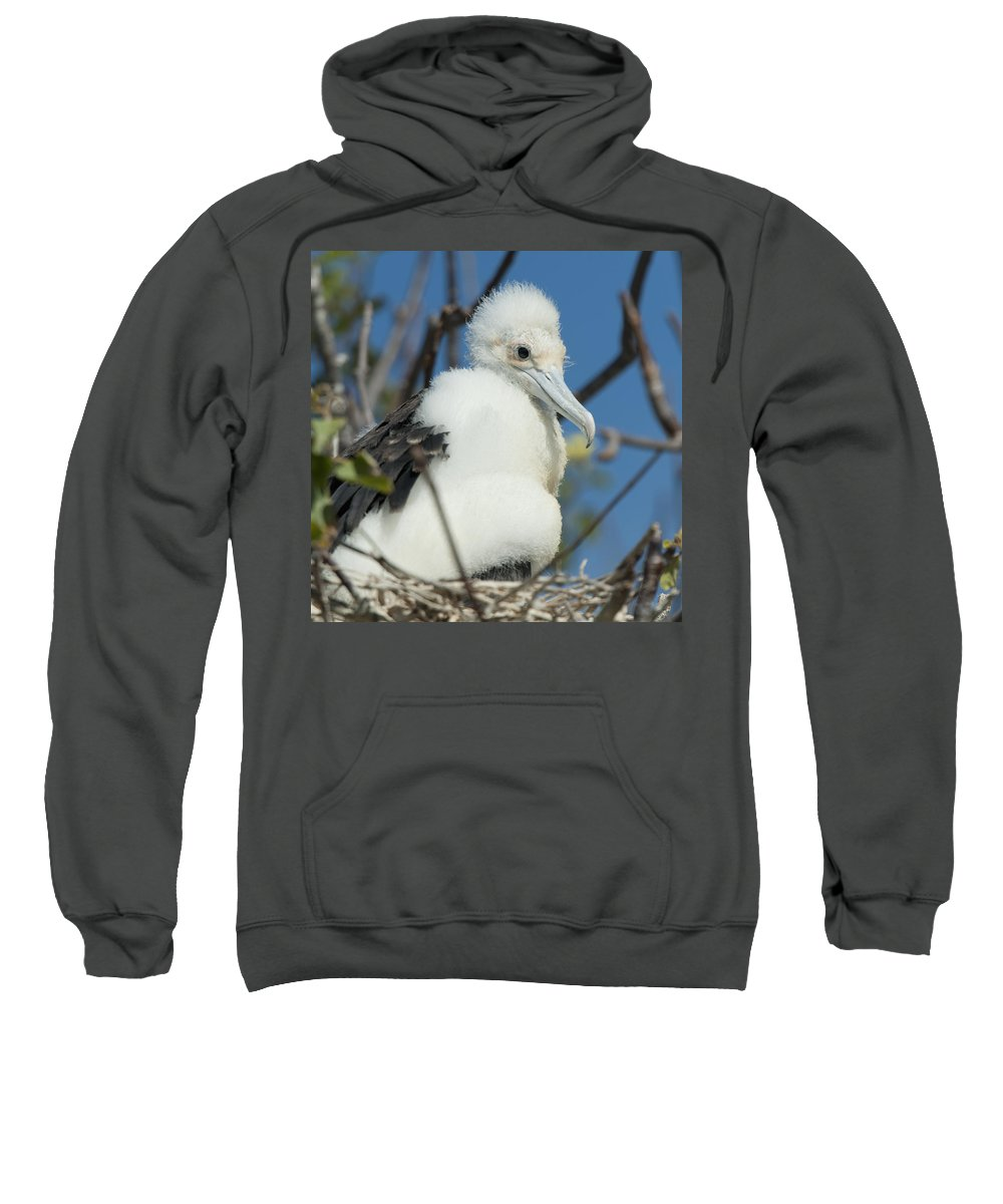 Aves Sweatshirt featuring the photograph A Frigatebird Sitting In A Nest by Keith Levit