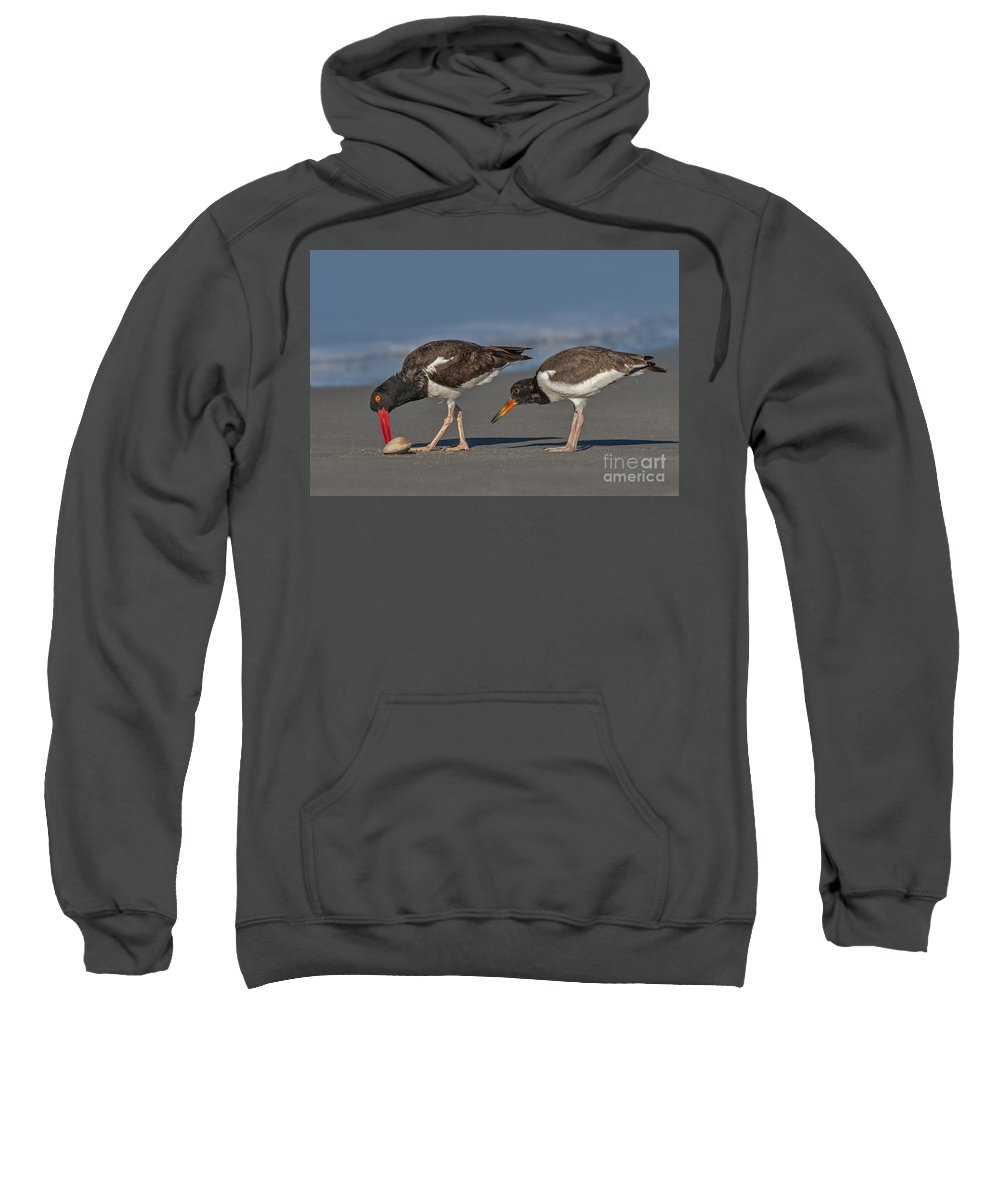 American Oystercatcher Sweatshirt featuring the photograph A Lesson In Fine Dinning by Susan Candelario