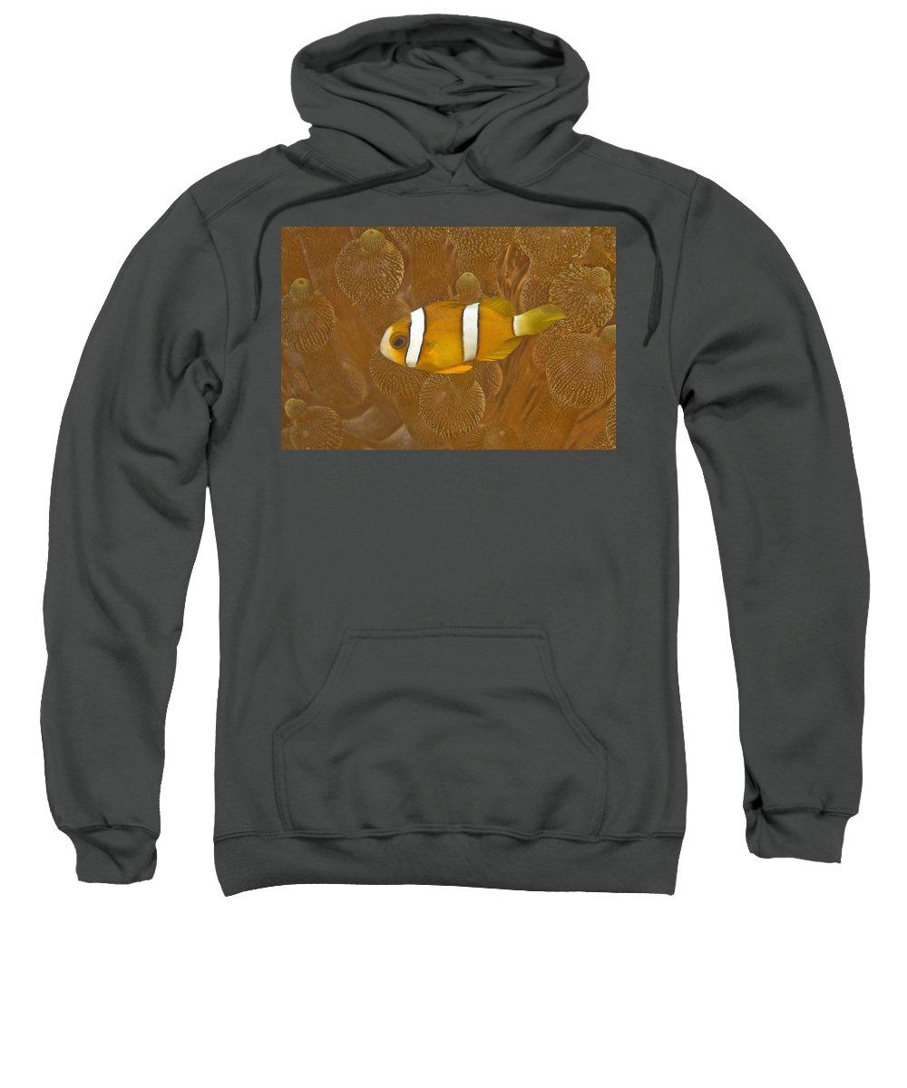 Animal Sweatshirt featuring the photograph Anemonefish, Sea Anemone, Puerto by Stuart Westmorland
