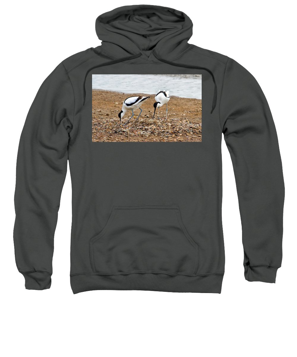 Birds Sweatshirt featuring the photograph Avocets At Nest by Bob Kemp