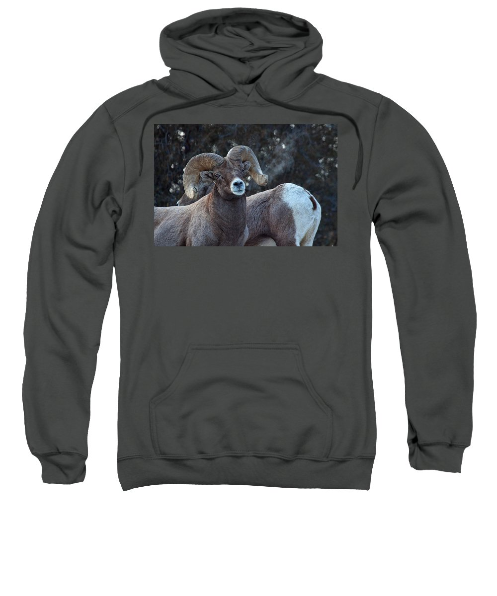 Bighorn Sheep Sweatshirt featuring the photograph Battle Weary by Jim Garrison