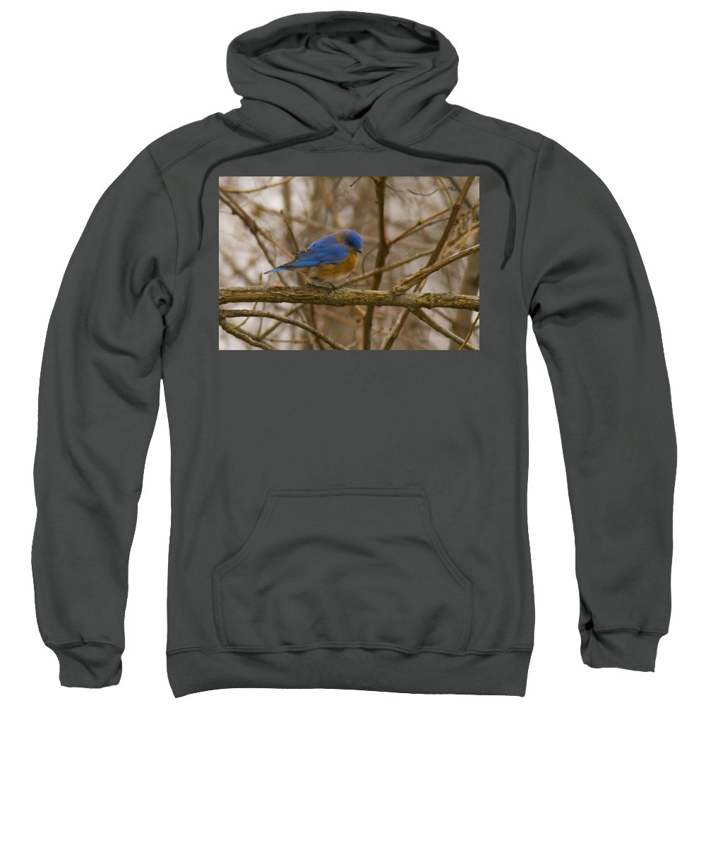 Birds Sweatshirt featuring the photograph Blue Bird Perched On Willow by Crystal Heitzman Renskers