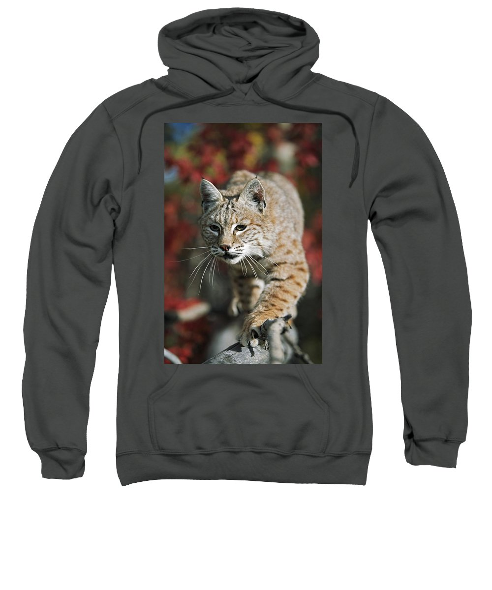 Attacking Sweatshirt featuring the photograph Bobcat Felis Rufus by David Ponton