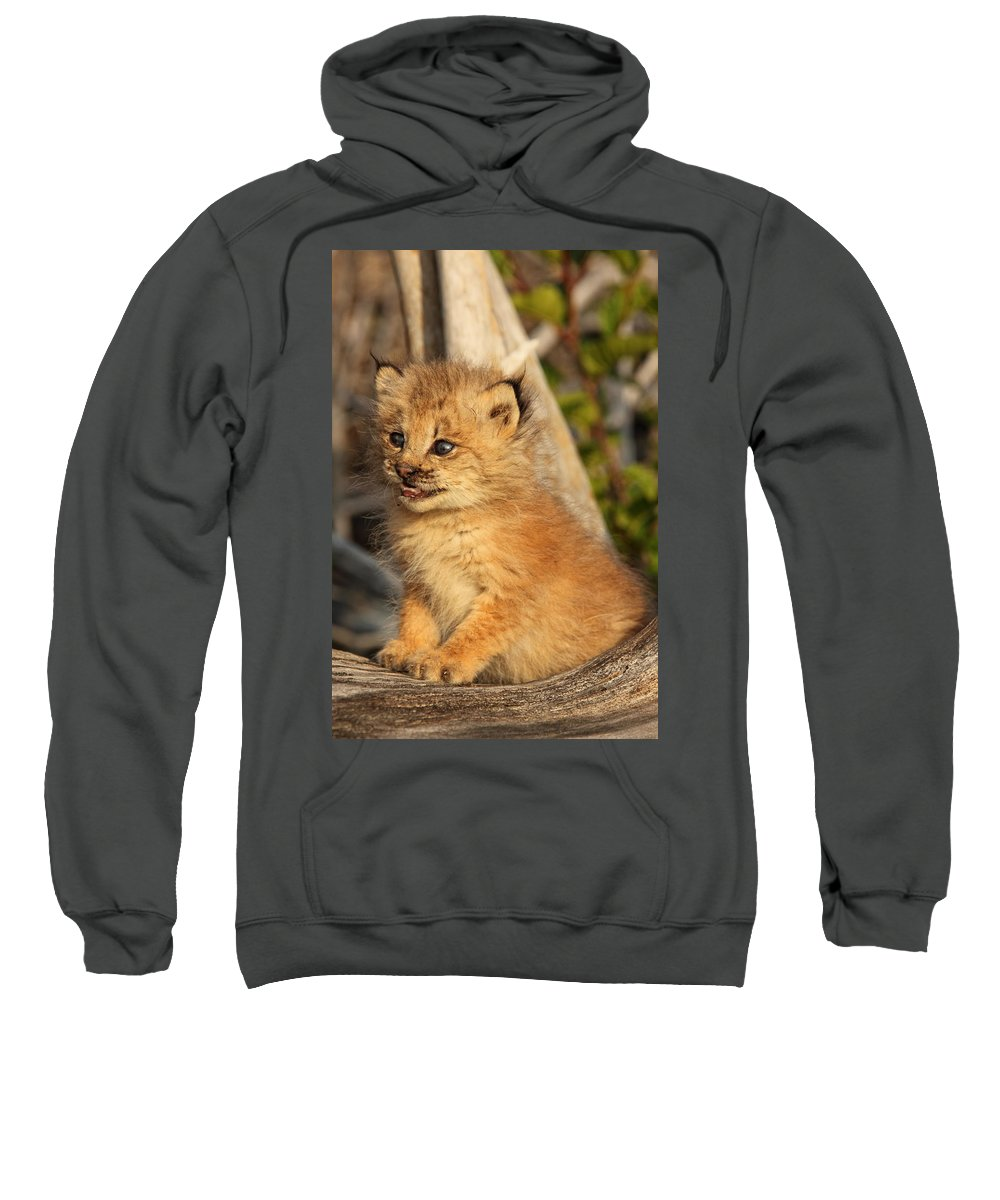 Light Sweatshirt featuring the photograph Canadian Lynx Kitten, Alaska by Robert Postma