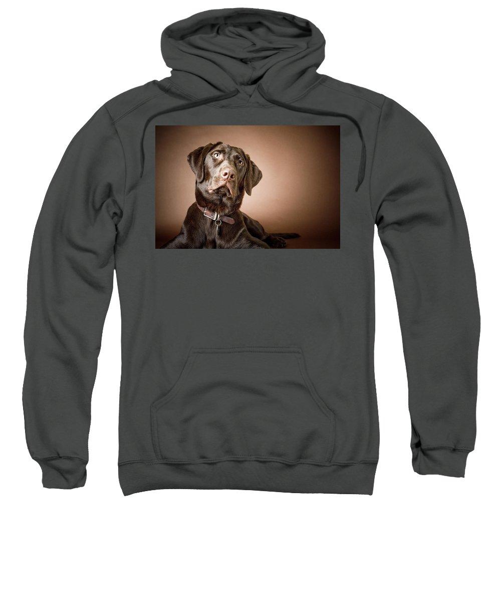1 Animal Only Sweatshirt featuring the photograph Chocolate Labrador Retriever Portrait by David DuChemin