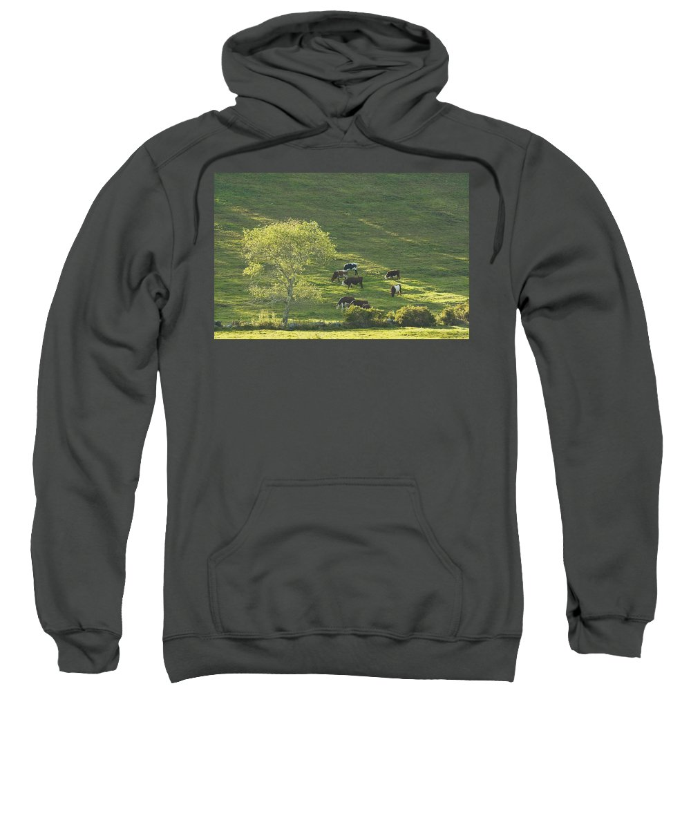 Cow Sweatshirt featuring the photograph Cows On Hillside Summer In Maine by Keith Webber Jr