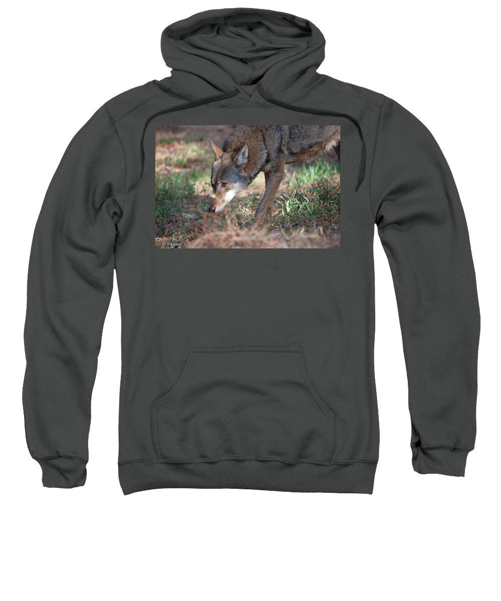 Wolf Sweatshirt featuring the photograph Gentle Wolf by Karol Livote