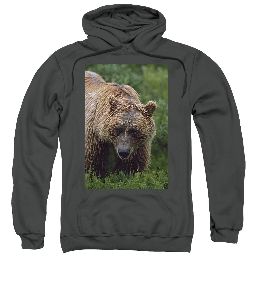Bear Sweatshirt featuring the photograph Grizzly Bear Ursus Arctos, Denali by David Ponton