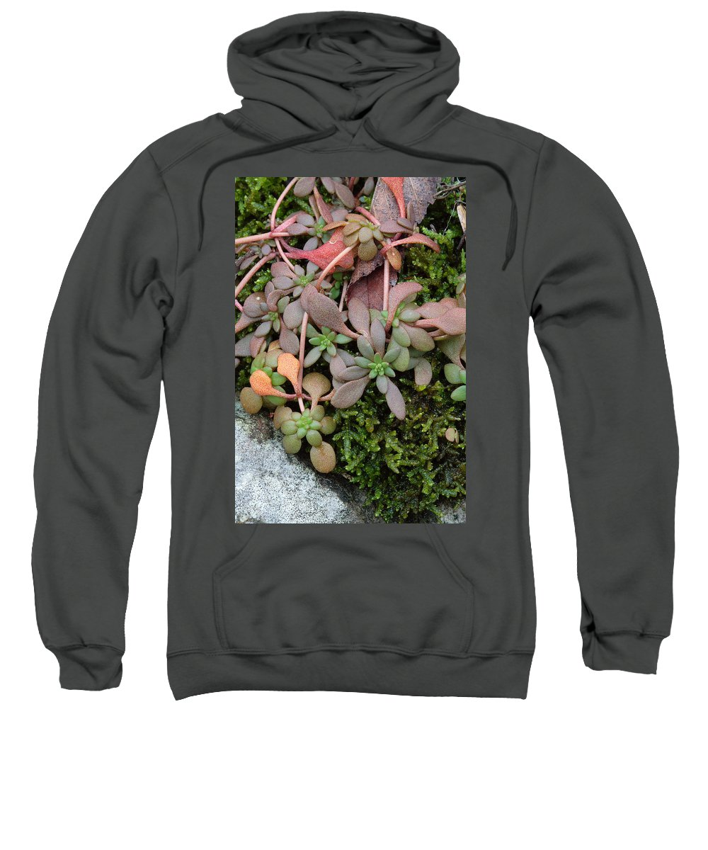Sedum Pulchellum Sweatshirt featuring the photograph Lime Stonecrop Leaves In Winter by Daniel Reed