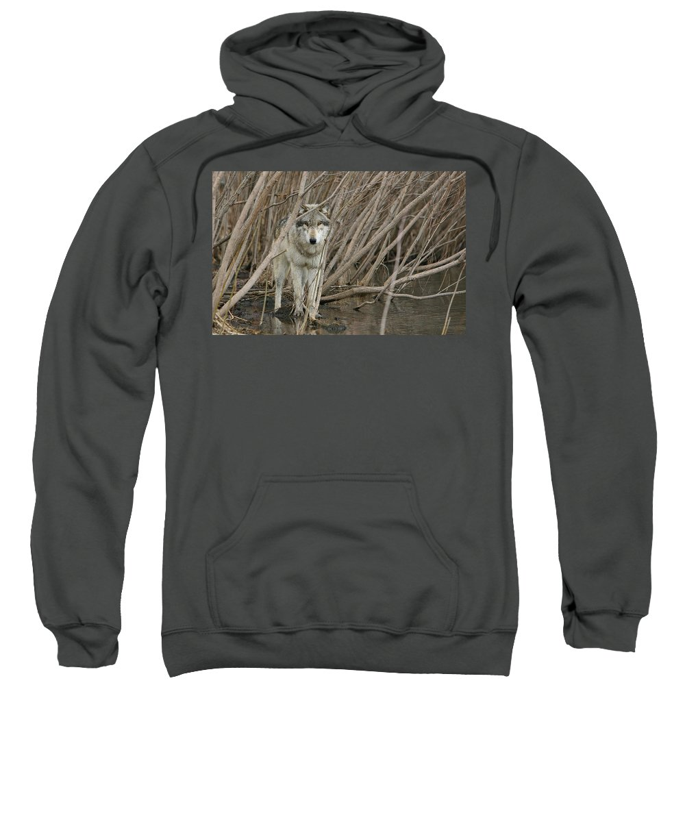 Wolf Sweatshirt featuring the photograph Looking Wild by Shari Jardina