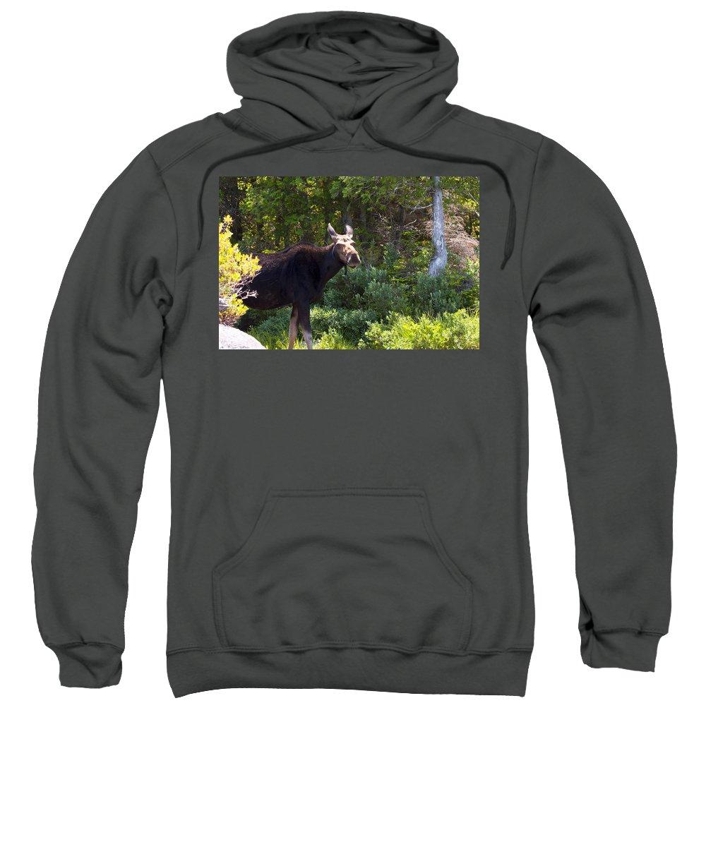 Moose Sweatshirt featuring the photograph Moose Baxter State Park 4 by Glenn Gordon