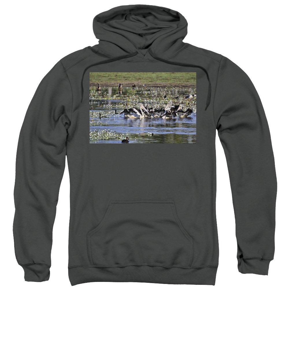 Pelicans Sweatshirt featuring the photograph Pelicans At Knuckey Lagoon by Douglas Barnard