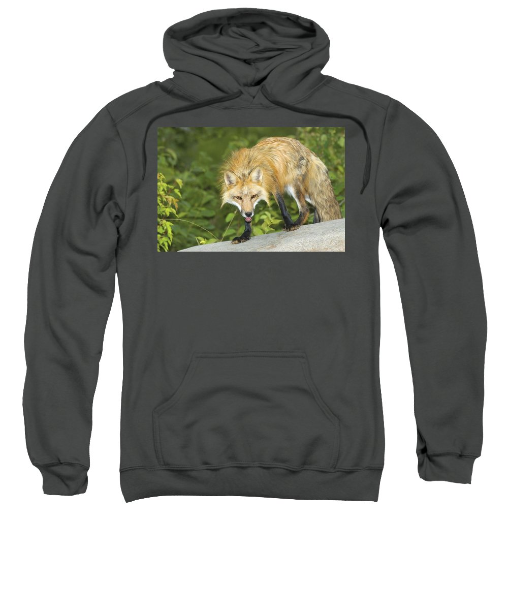 Wild Life Sweatshirt featuring the photograph Red Fox by John Pitcher