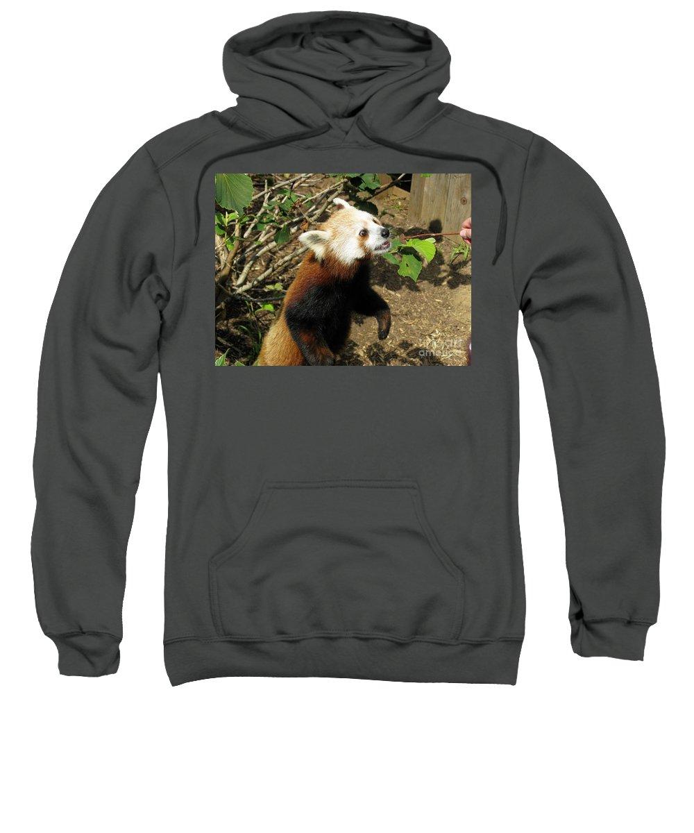 Red Panda Sweatshirt featuring the photograph Red Panda Feeding Time by Ausra Huntington nee Paulauskaite