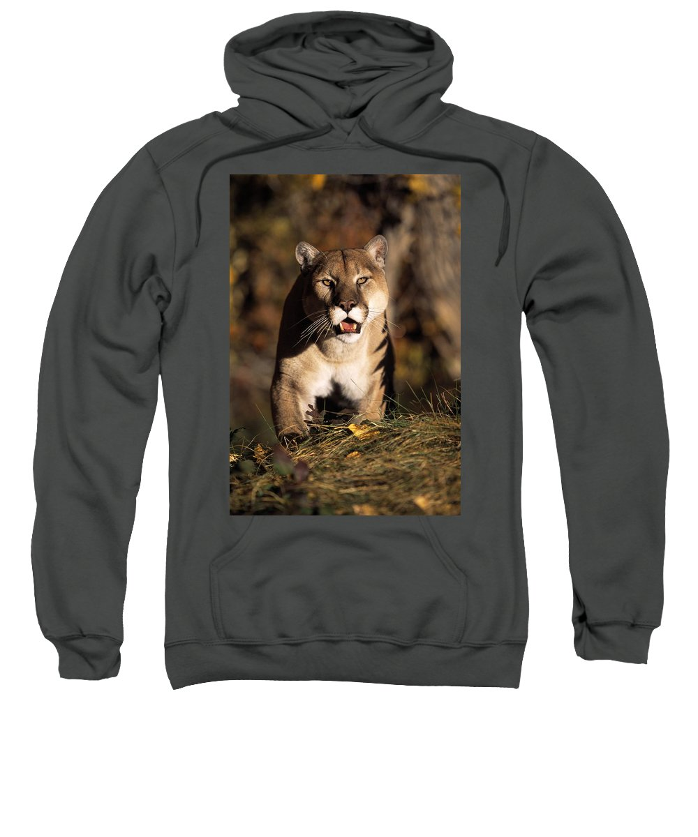 Animal Sweatshirt featuring the photograph Stalking Mountain Lion by Natural Selection David Ponton