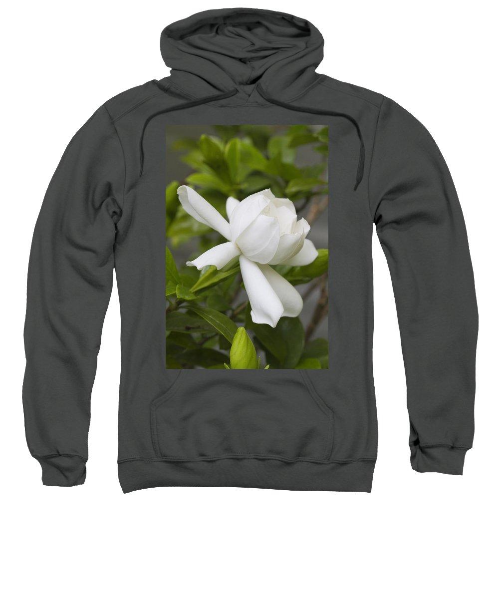 Gardenia Jasminoides Sweatshirt featuring the photograph Sweet Sweet Gardenia by Kathy Clark