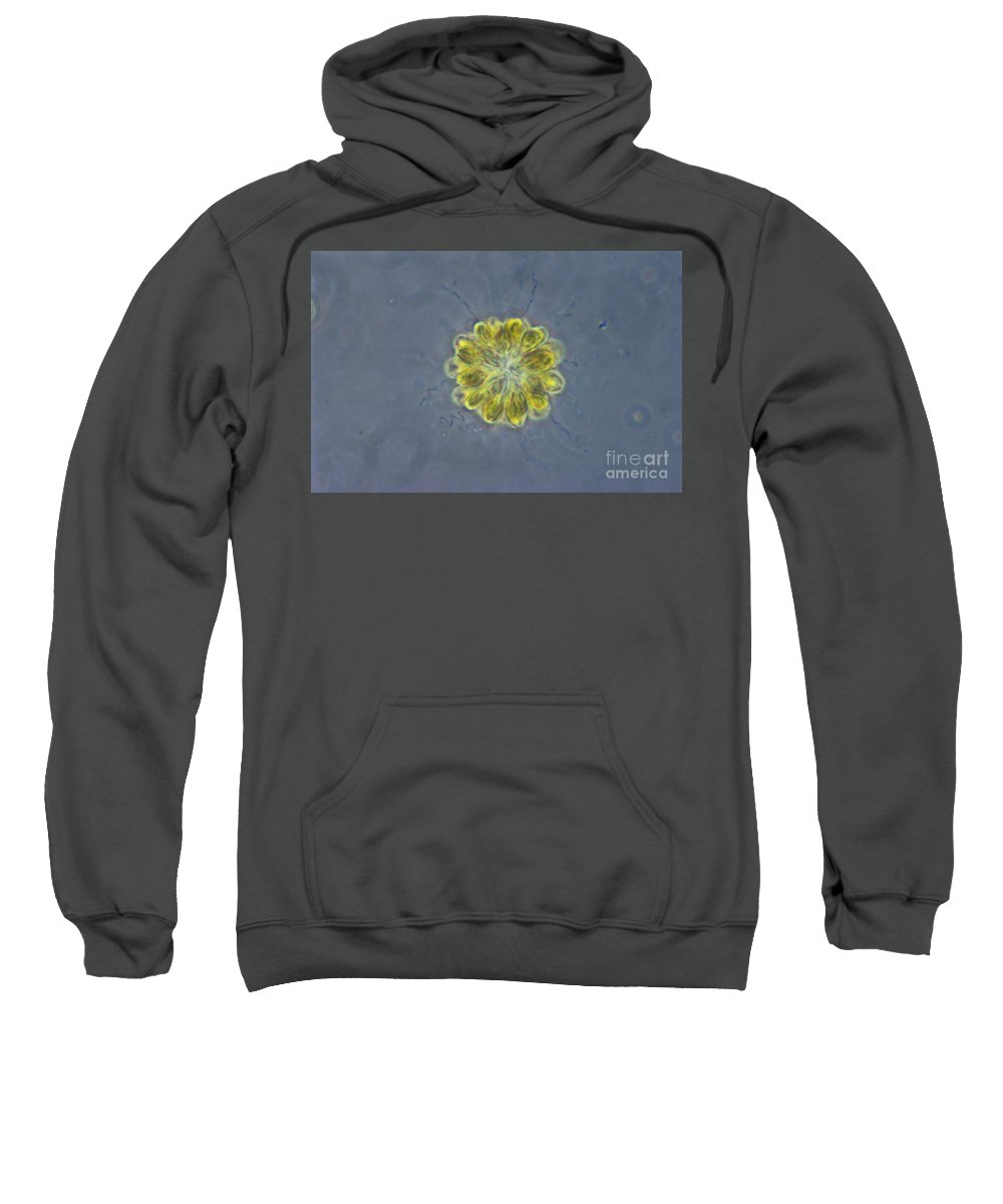 Science Sweatshirt featuring the photograph Synura Algae, Lm by M. I. Walker