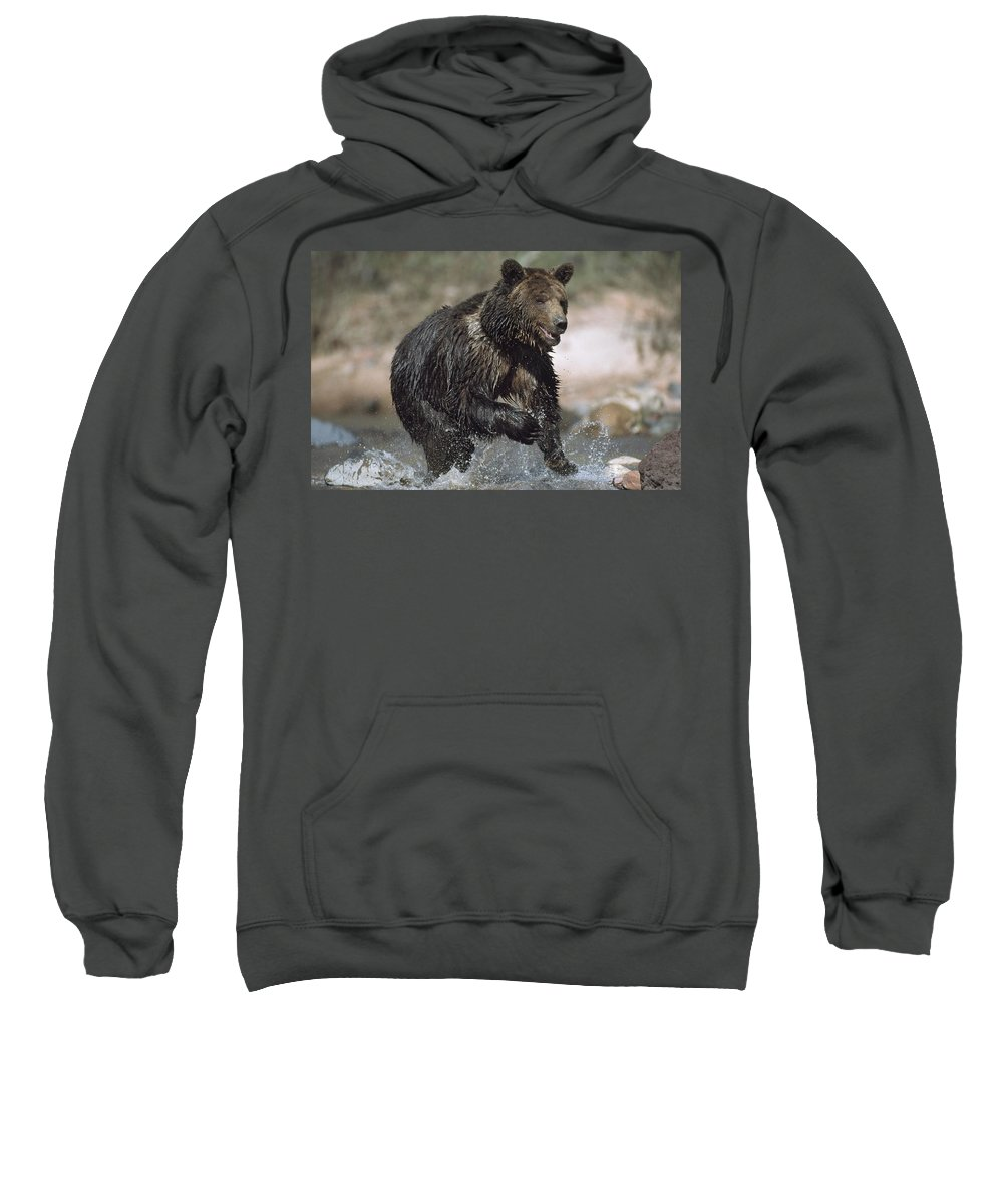 Captive Sweatshirt featuring the photograph Wet Grizzly Bear Running In Stream by David Ponton