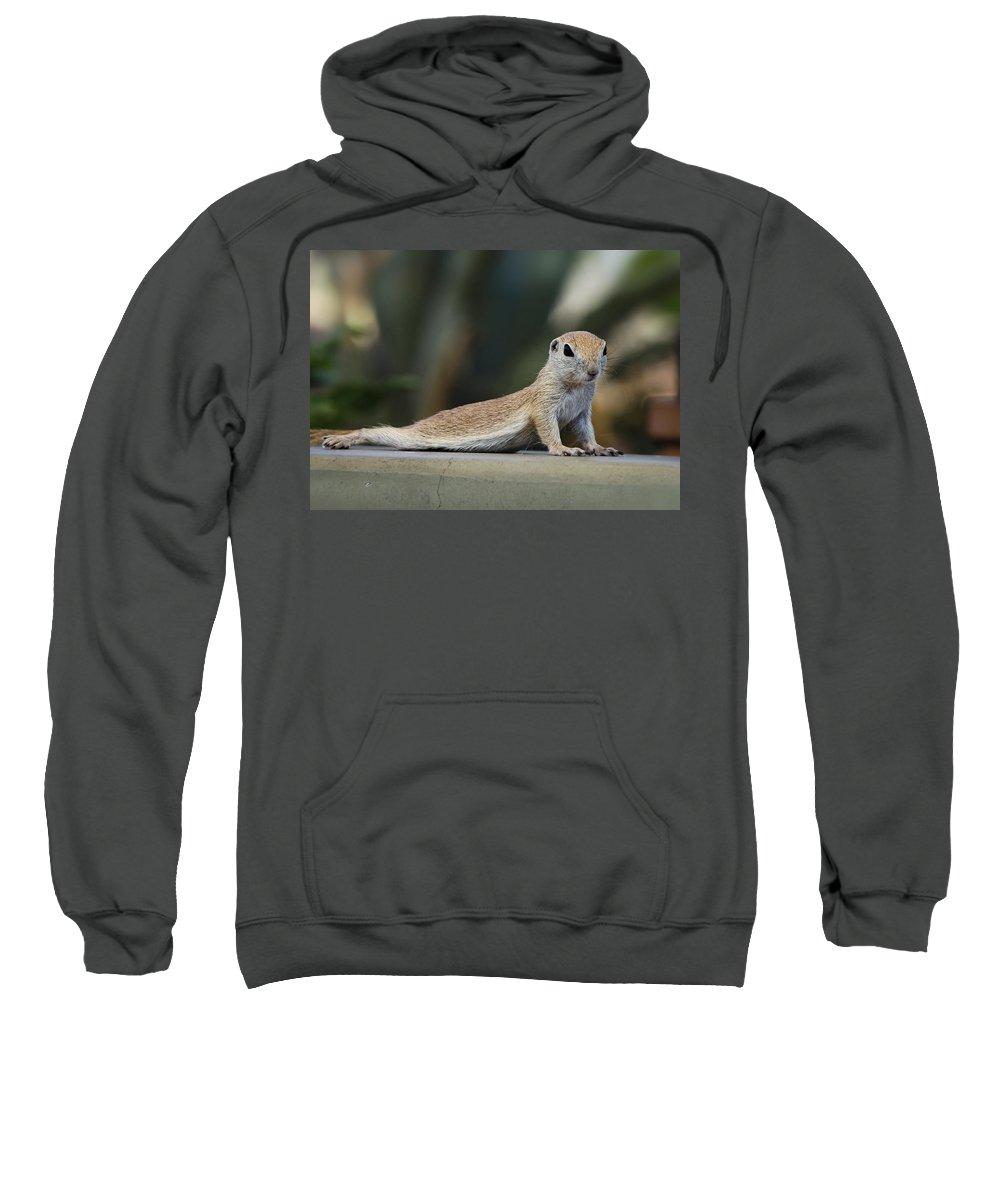Ground Squirrel Sweatshirt featuring the photograph Yoga Ground Squirrel Style by Saija Lehtonen