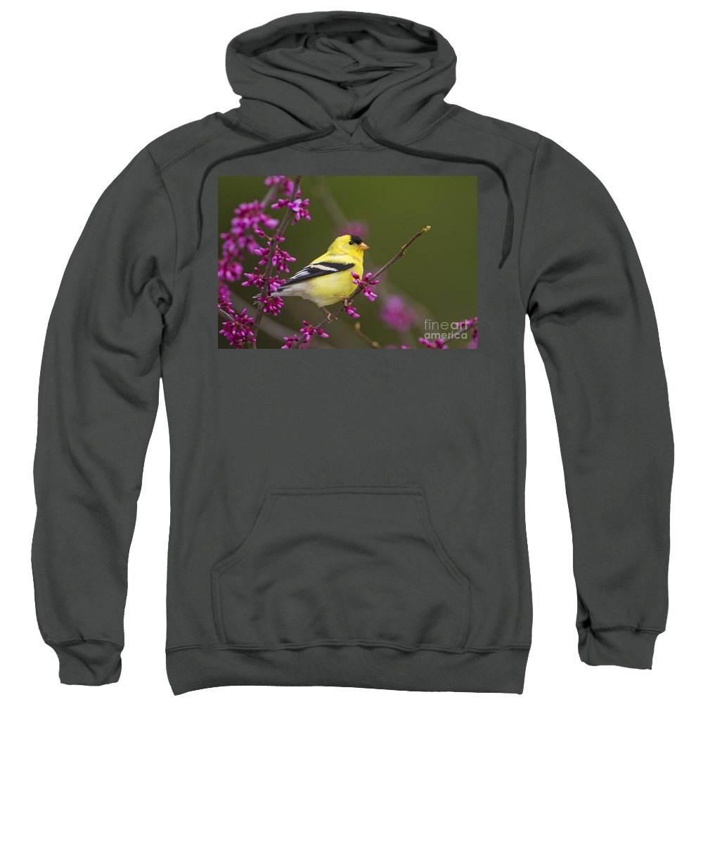 American Goldfinch Sweatshirt featuring the photograph American Goldfinch In Redbud by Marie Read