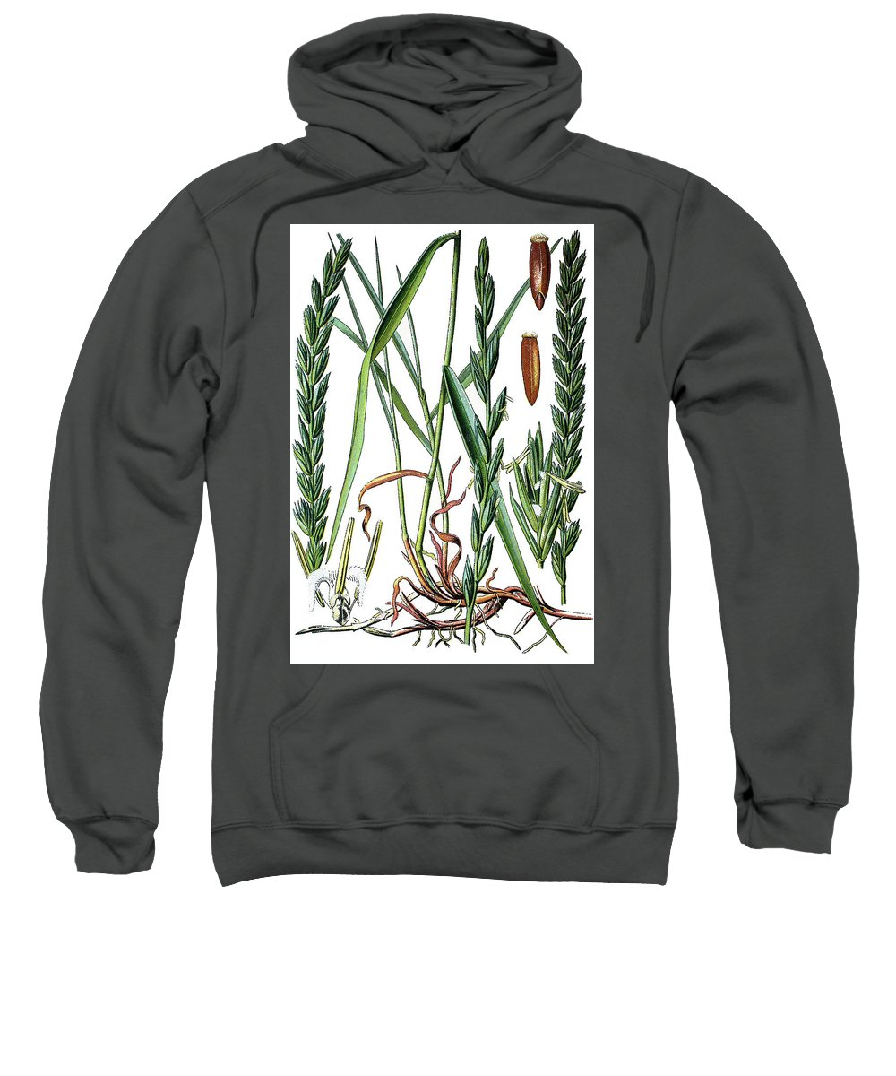 Elymus Repens Sweatshirt featuring the drawing Elymus Repens, Commonly Known As Couch Grass by Bildagentur-online