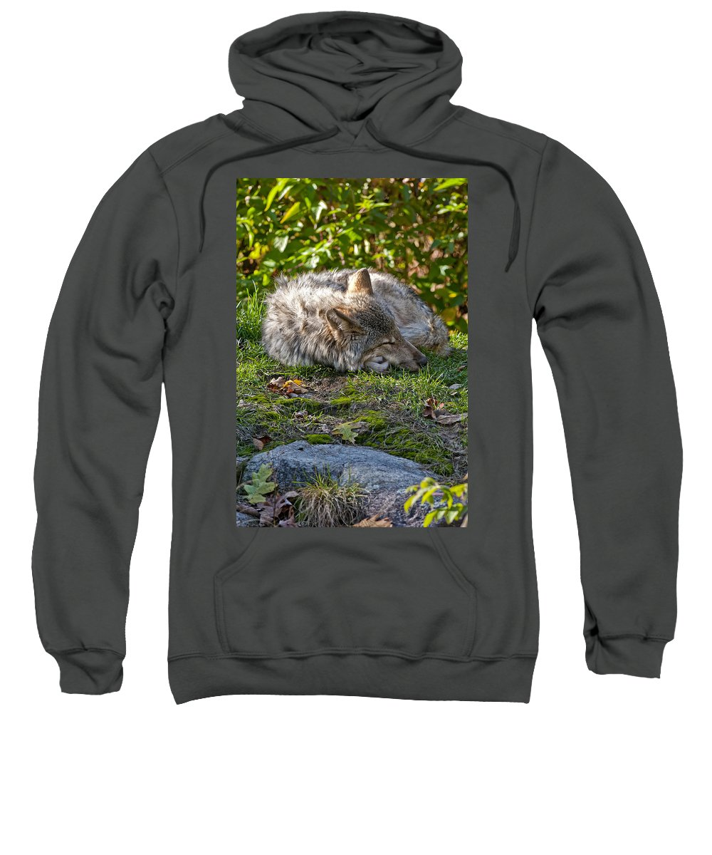 Michael Cummings Sweatshirt featuring the photograph Sleeping Timber Wolf by Michael Cummings