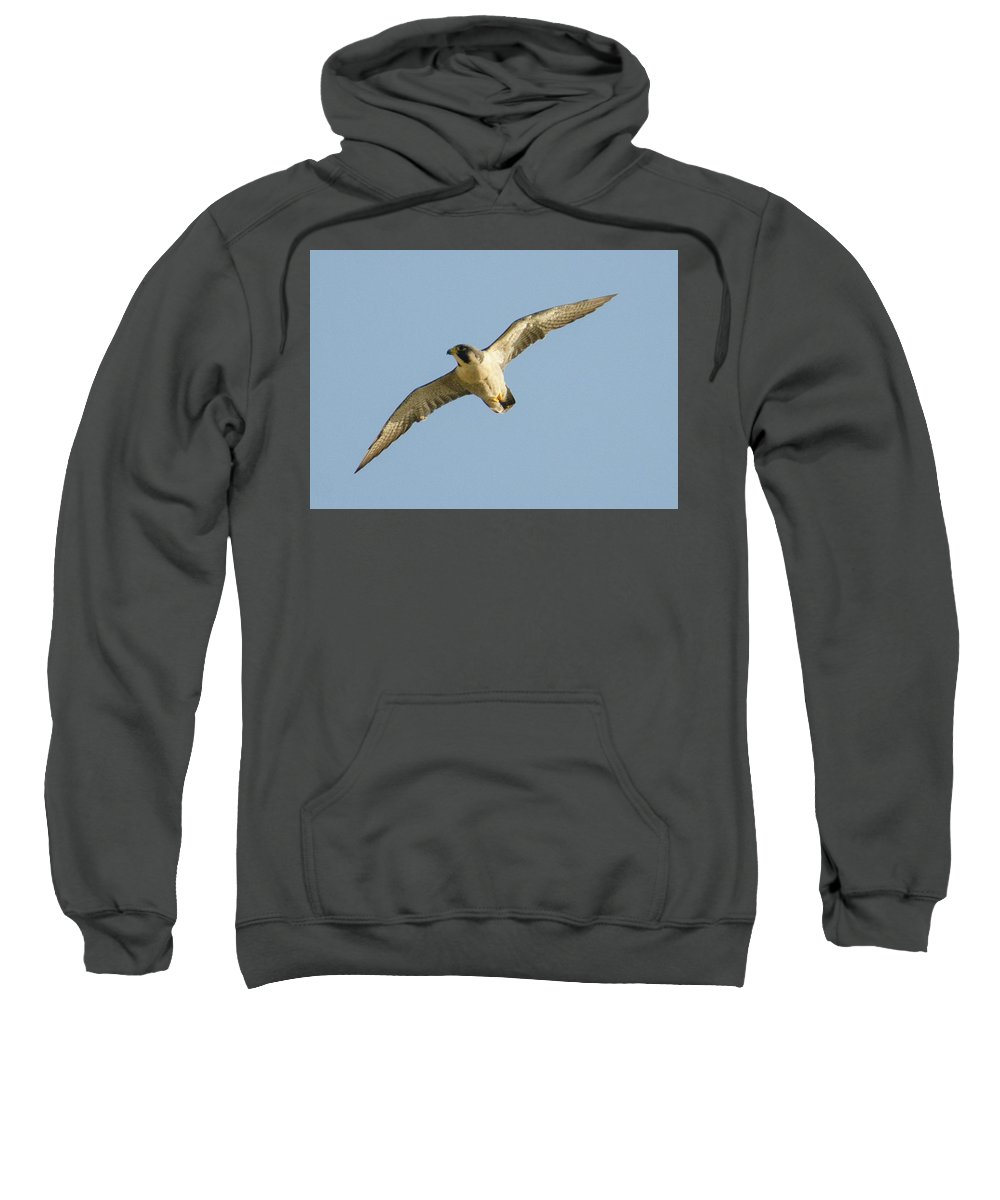 Peregrine Sweatshirt featuring the photograph Peregrine by Judd Nathan