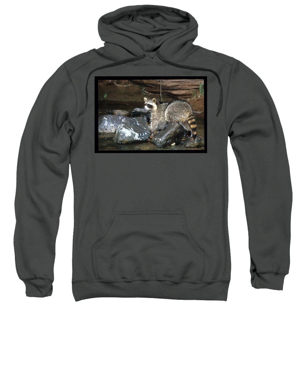 Wildlife Sweatshirt featuring the photograph Adult Raccoon Hunting by Larry Allan