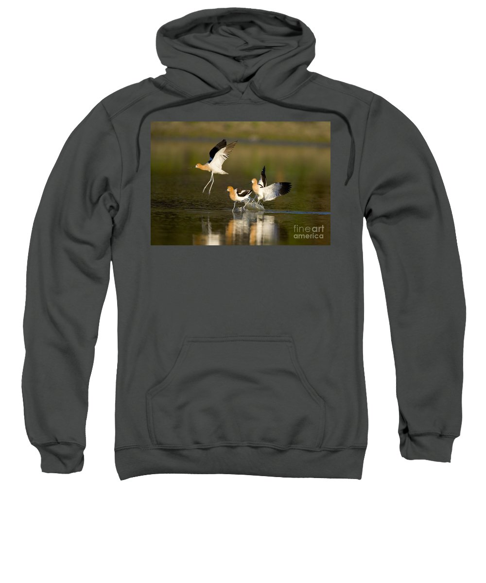 American Avocet Sweatshirt featuring the photograph American Avocets by Marie Read