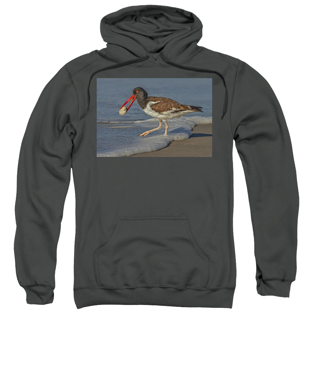 American Oystercatcher Sweatshirt featuring the photograph American Oystercatcher Grabs Breakfast by Susan Candelario