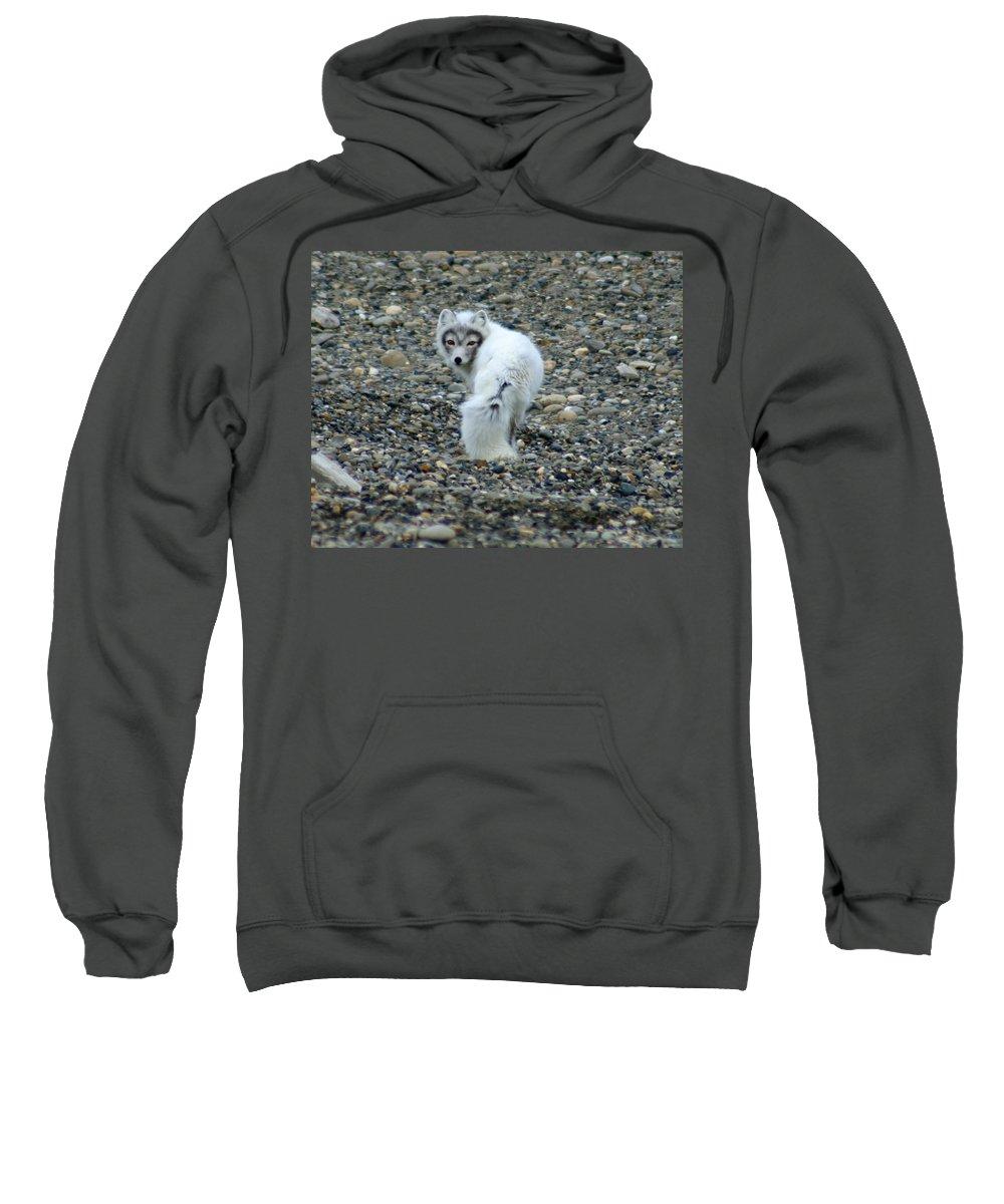 Alaska Sweatshirt featuring the photograph Arctic Fox by Anthony Jones