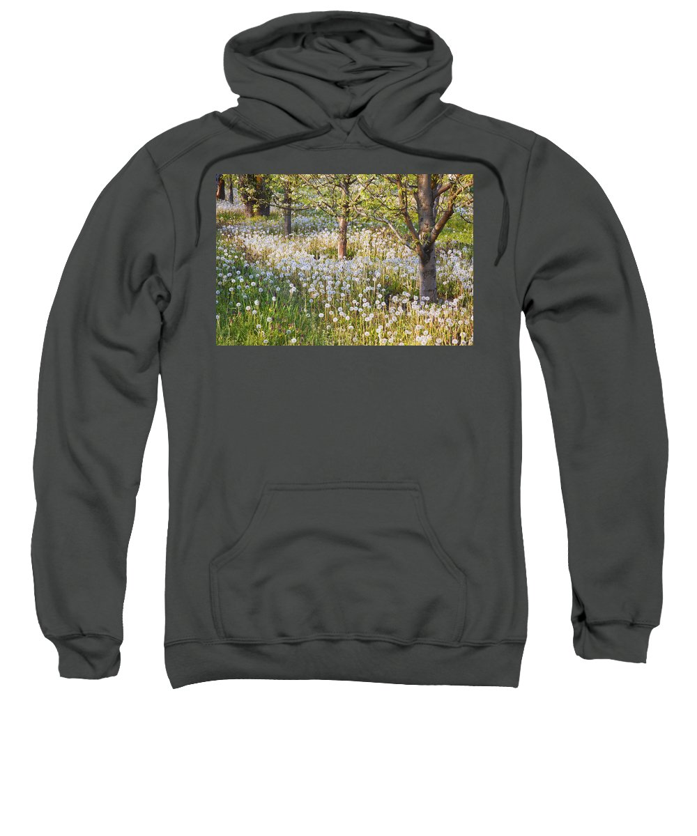 Flower Sweatshirt featuring the photograph Blossoms Growing In A Fruit Orchard In by Craig Tuttle