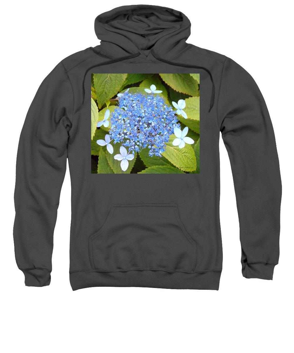 Blue Lacecap Hydrangeas Sweatshirt featuring the photograph Blue Lacecap Hydrangeas by Kume Bryant
