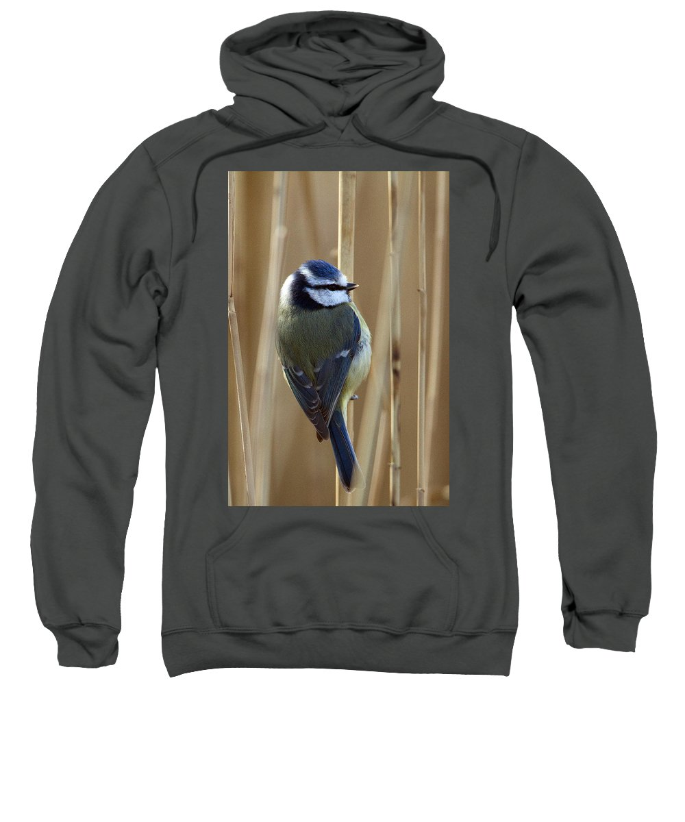 Blue Tit Sweatshirt featuring the photograph Blue Tit On Reed by Bob Kemp