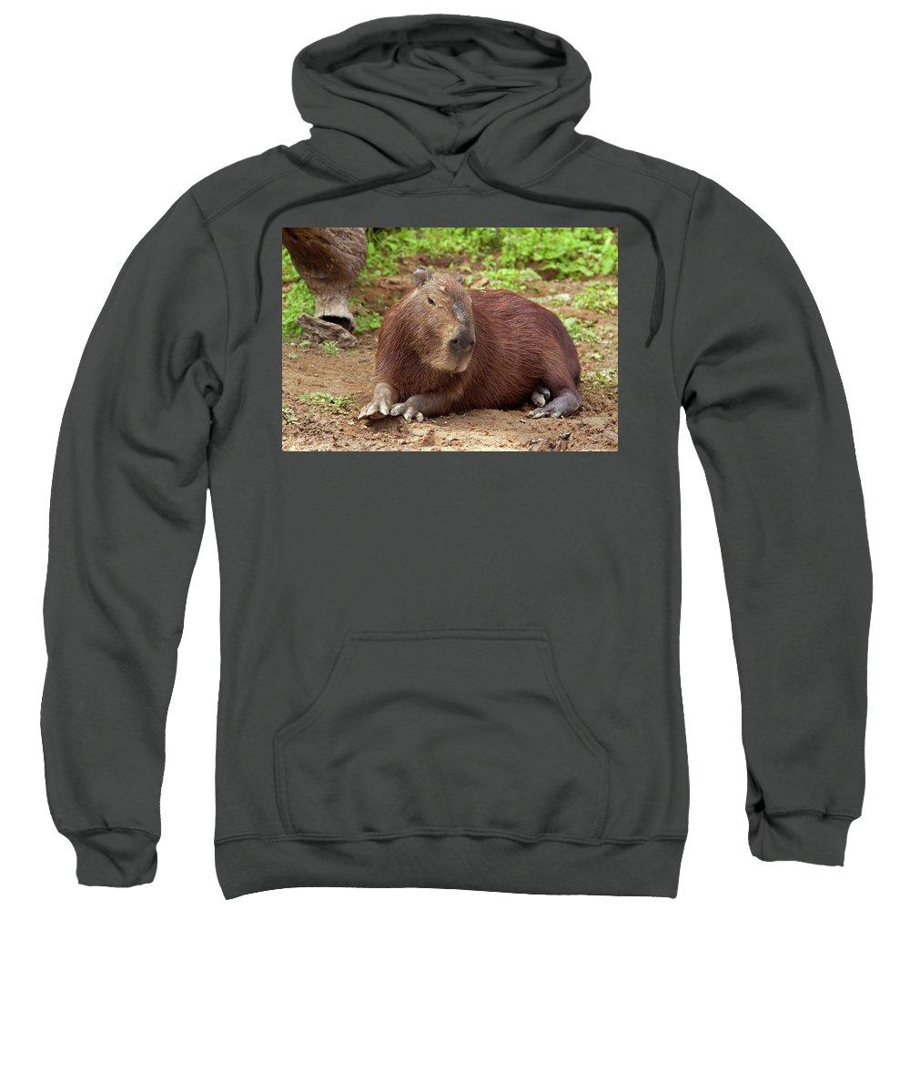 Capybara Sweatshirt featuring the photograph Capybara by Aivar Mikko