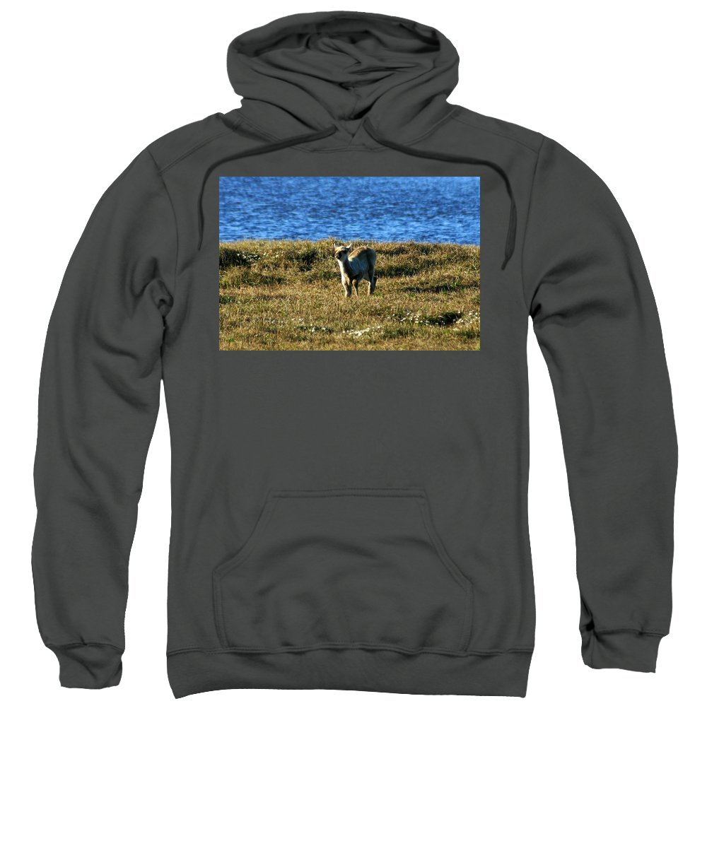 Fawn Sweatshirt featuring the photograph Caribou Fawn by Anthony Jones