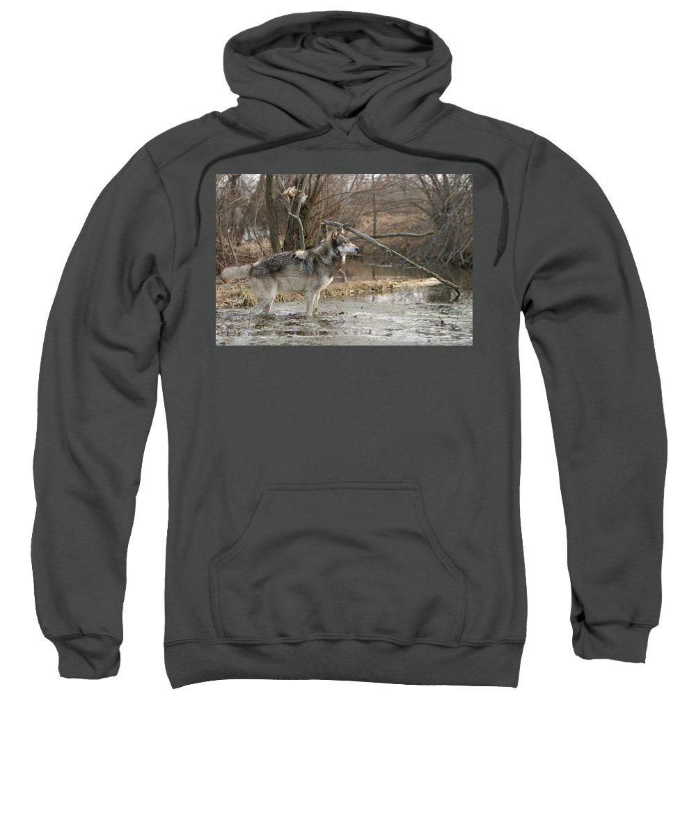 Wolf Canid Canus Lupis Wildlife Wild Animal Mammal Gray Grey Timberwolf Photograph Photography Digital Art Sweatshirt featuring the photograph Concentration by Shari Jardina