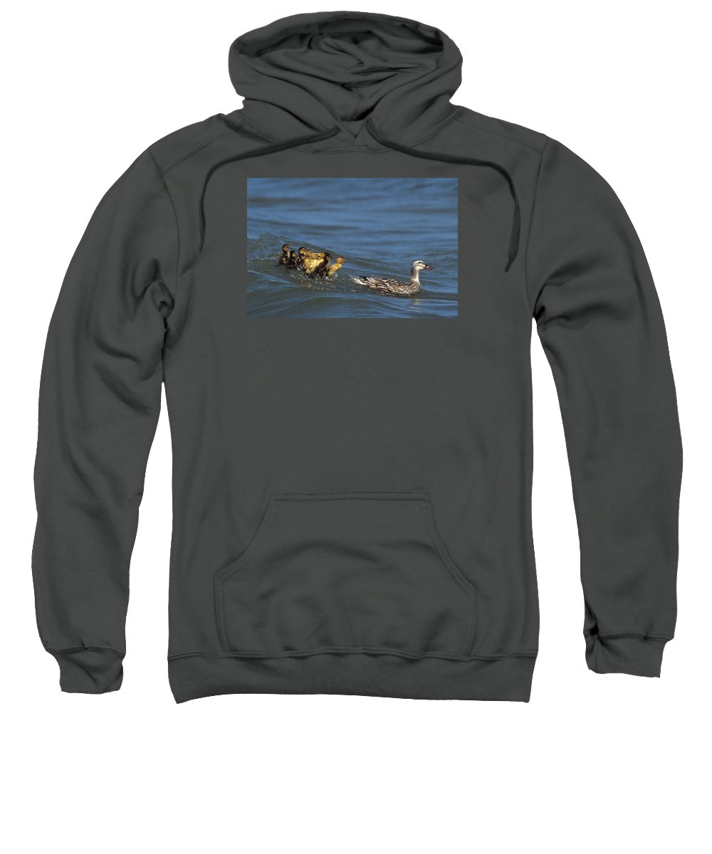 Distressed Ducklings Sweatshirt featuring the photograph Don't Bother Mother by John Harmon