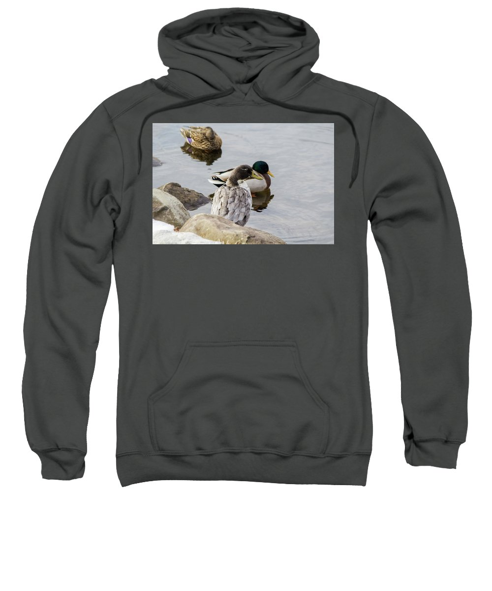 Duck Sweatshirt featuring the photograph Duck, Duck by Barbara Blanchard