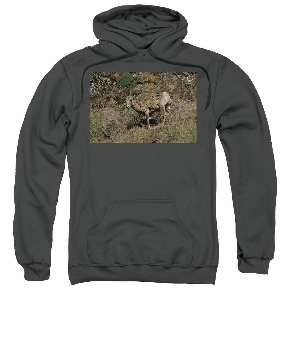 Goat Sweatshirt featuring the photograph Ewe 5 by Sara Stevenson
