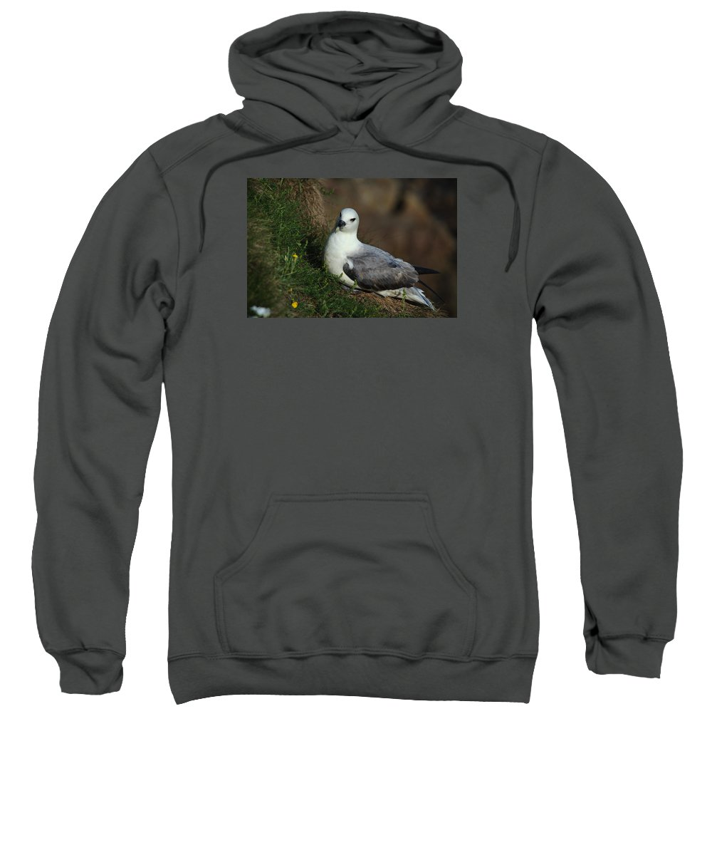 Fulmar Sweatshirt featuring the photograph Fulmar Nesting On Cliff by Adrian Wale