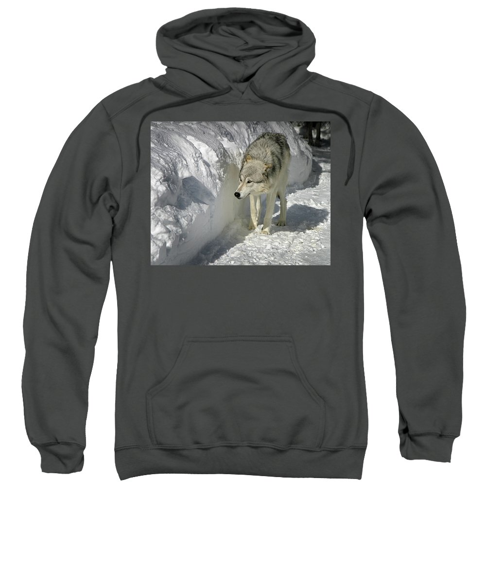 Gray Wolf Sweatshirt featuring the photograph Gray Wolf 7 by Anthony Jones