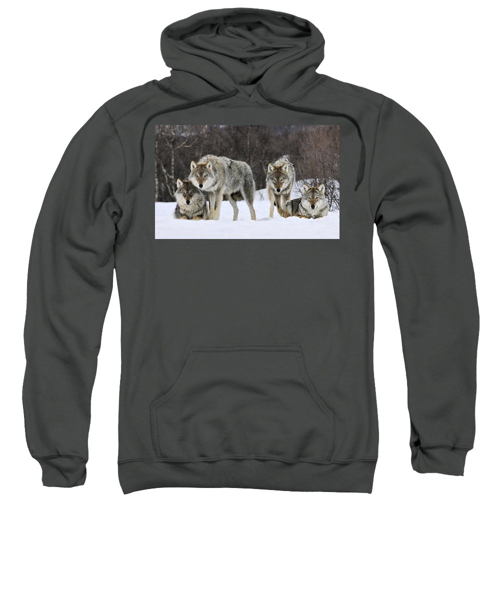 00436589 Sweatshirt featuring the photograph Gray Wolves Norway by Jasper Doest