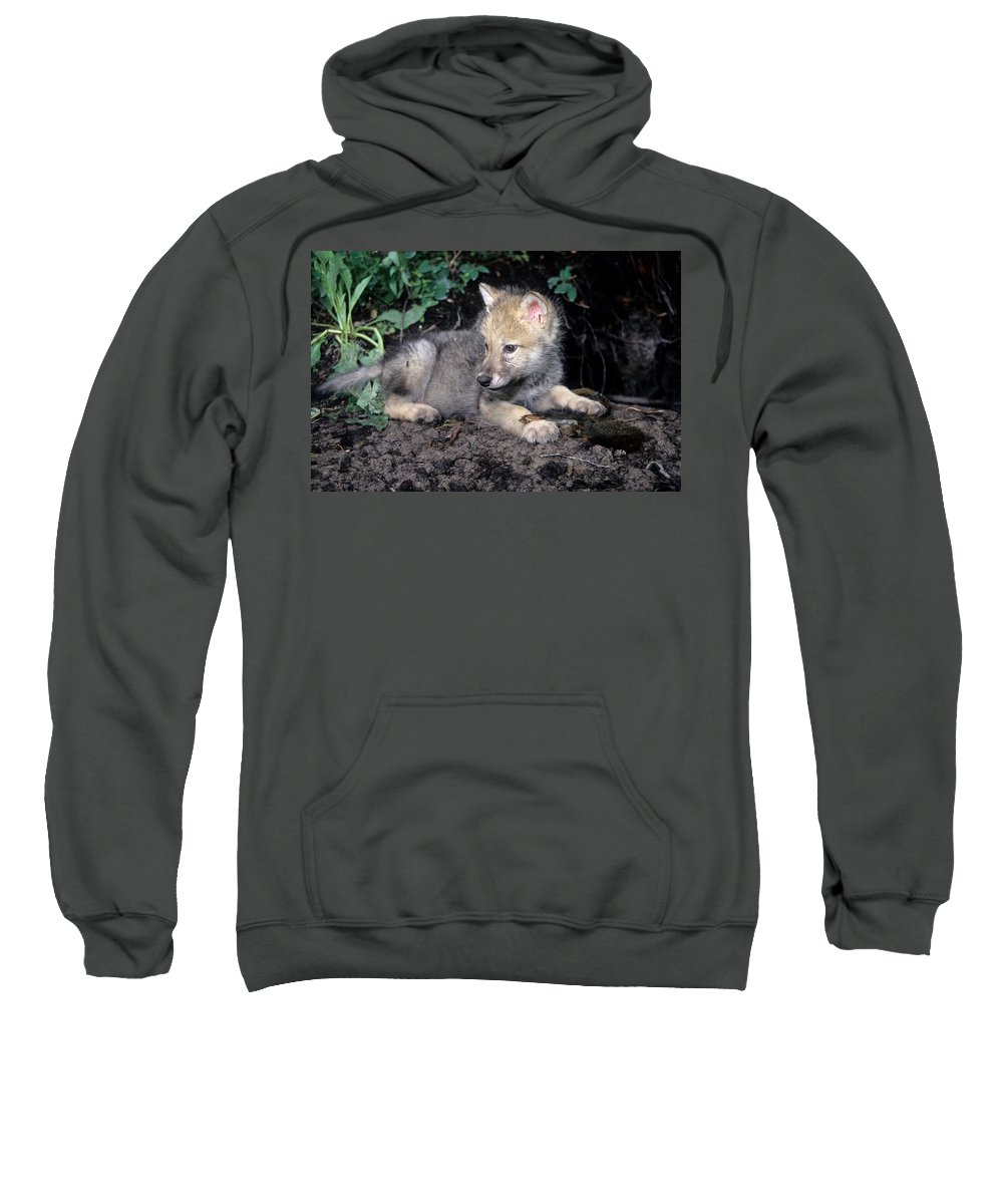 Wildlife Sweatshirt featuring the photograph Gray Wolf Pup With Prey by Larry Allan