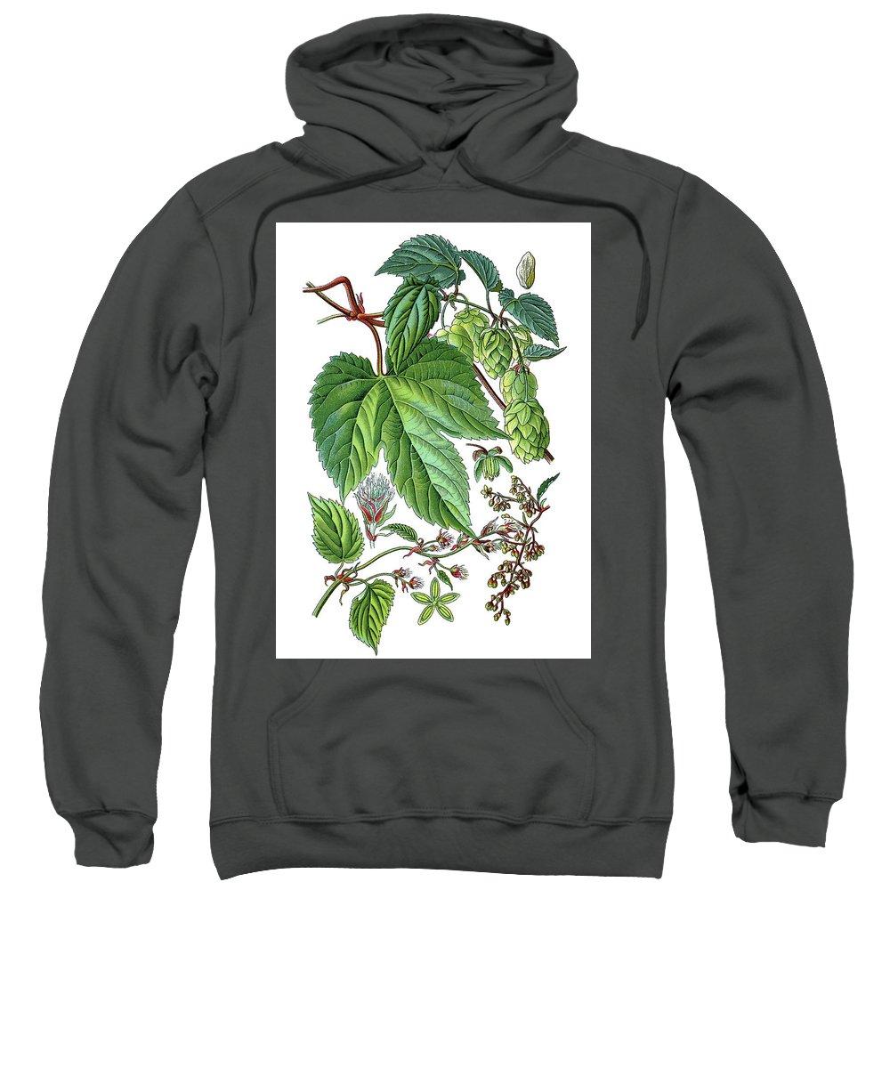 Humulus Lupulus Sweatshirt featuring the drawing Humulus Lupulus, Common Hop Or Hop by Bildagentur-online
