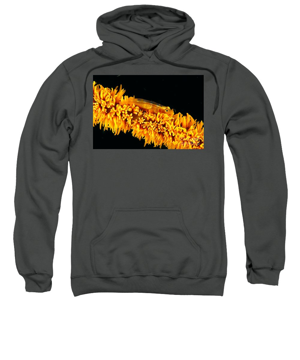Amplus Sweatshirt featuring the photograph Indonesia, Goby by Dave Fleetham - Printscapes