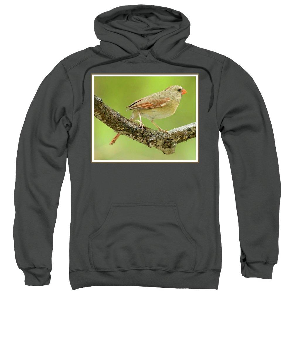 Juvenile Sweatshirt featuring the photograph Juvenile, Female Cardinal, Animal Portrait by A Gurmankin