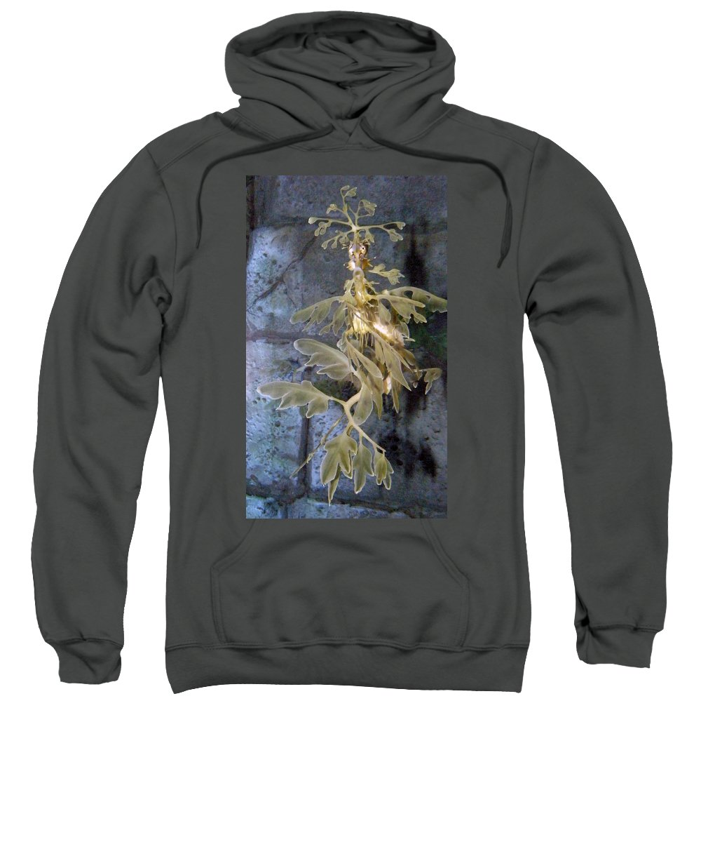 Sea Dragon Sweatshirt featuring the photograph Leafy Sea Dragon by Kimberly Mohlenhoff