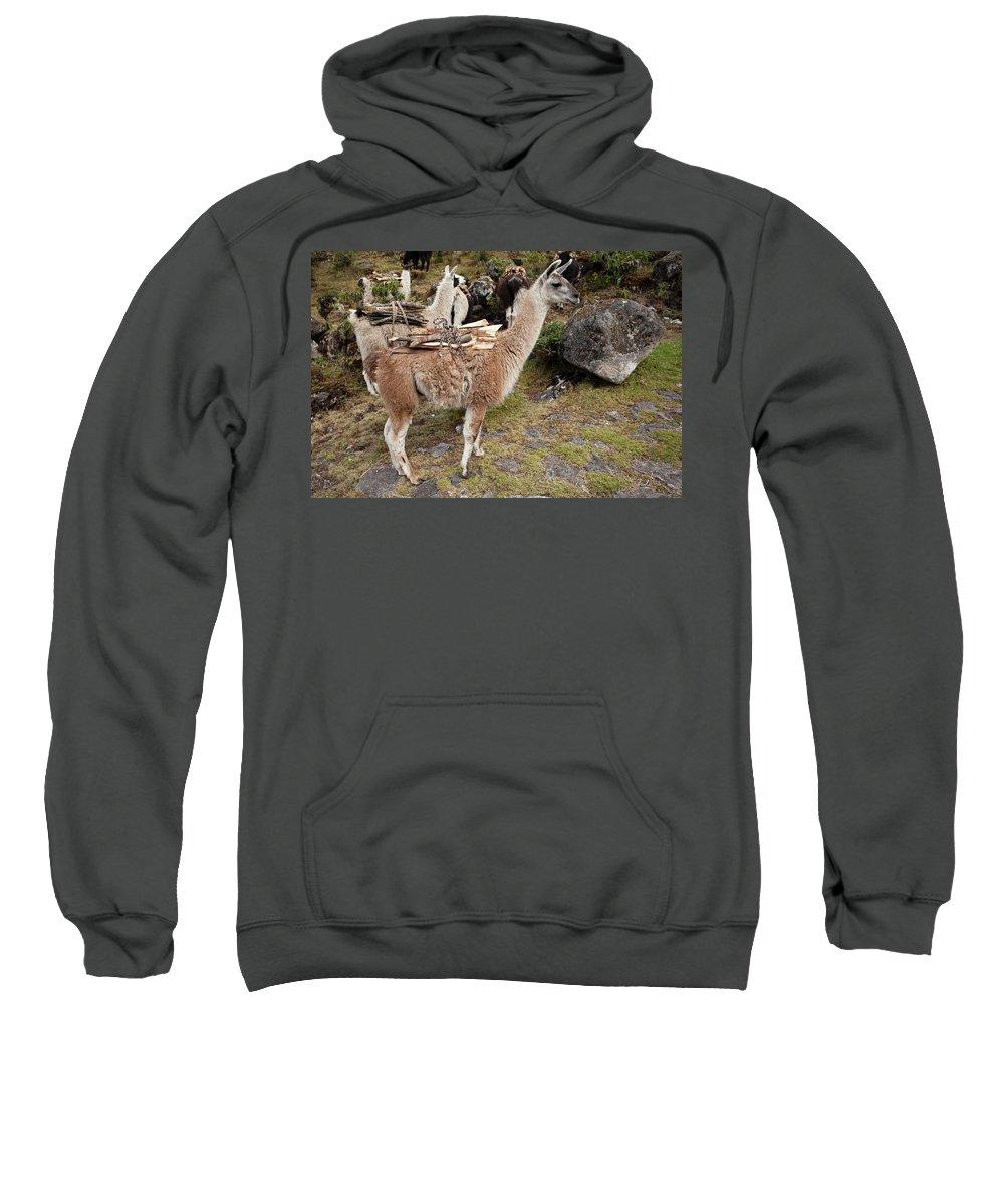 Llamas Sweatshirt featuring the photograph Llamas Carrying Firewood by Aivar Mikko